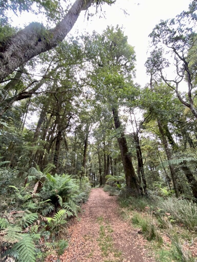 The fire trail to Cascades Walking Track is lined with ferns. New England National Park, NSW.