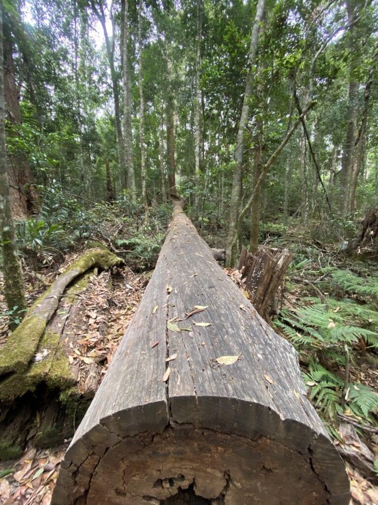 A huge fallen rainforest giant at Norman Jolly Memorial Grove, NSW Australia.