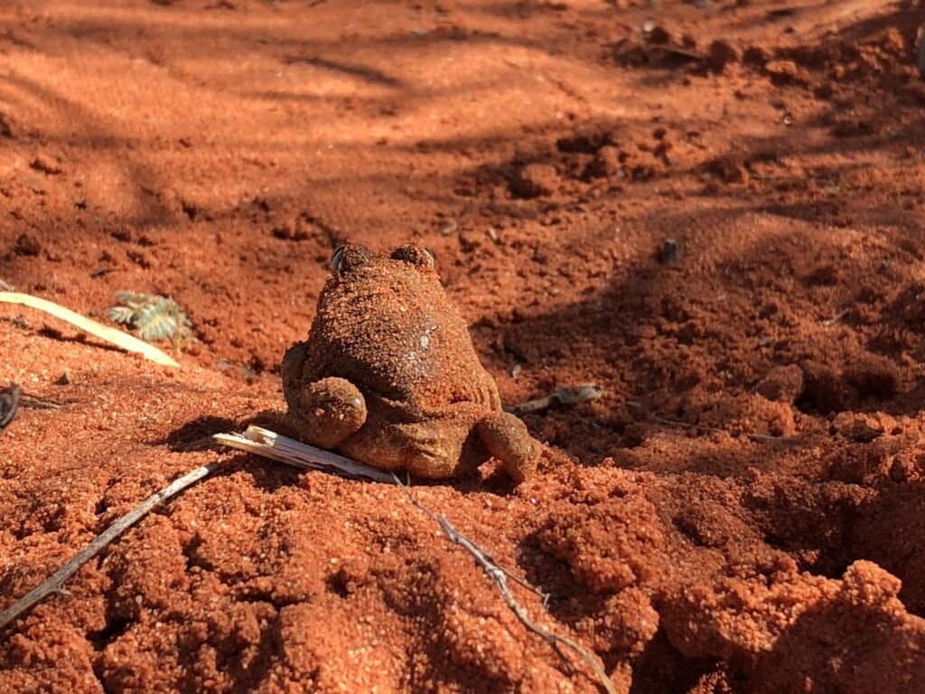 The Outback is full of surprises, like these burrowing frogs. They live deep in the desert sand dunes and burrow only surface after rain.