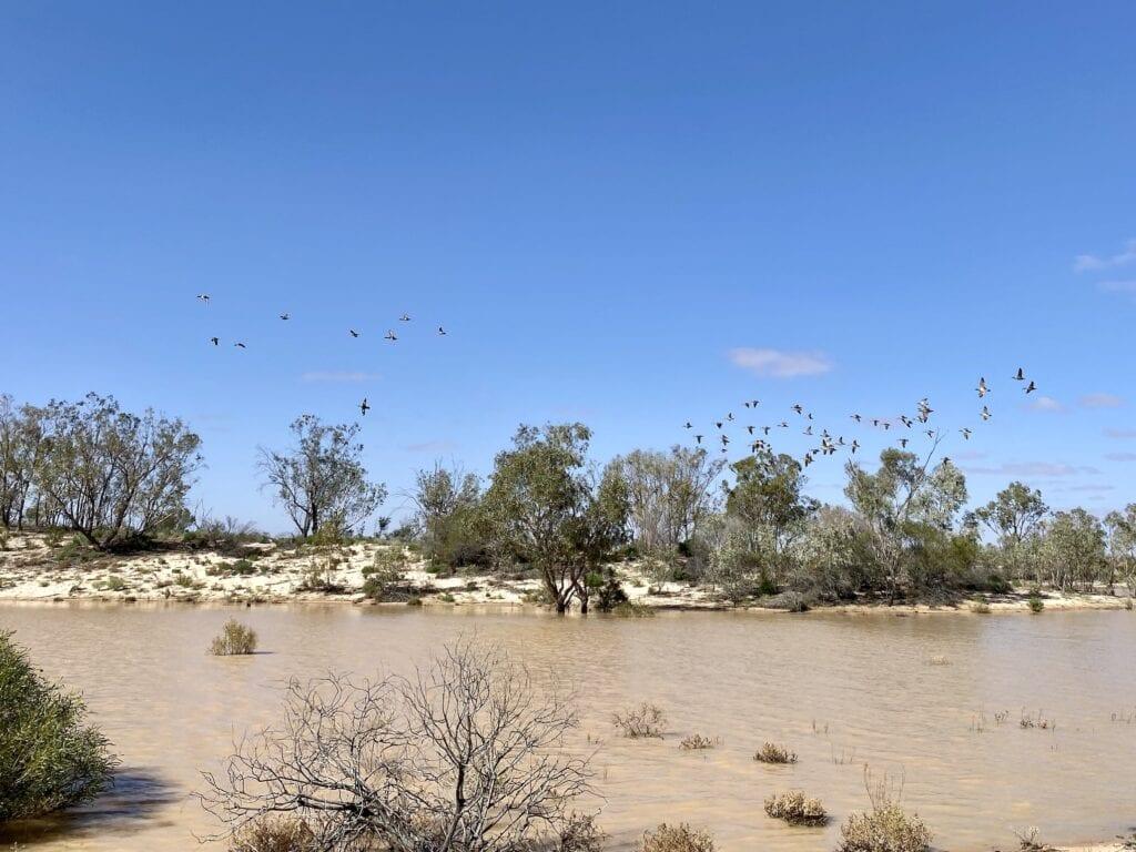 Water birds on Lake Pinaroo, Sturt National Park NSW.
