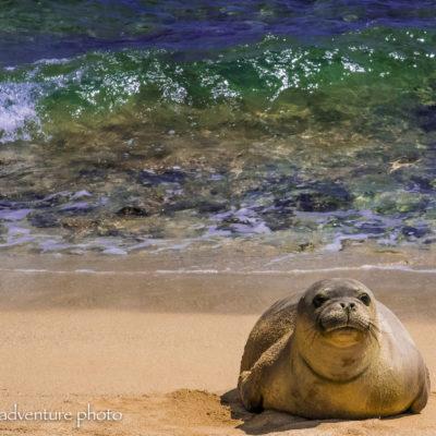 Mahaulepu Monk Seal