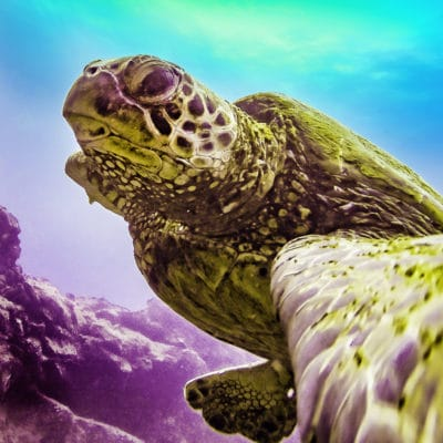 Turtle Selfie - Hawaii Ocean Photography