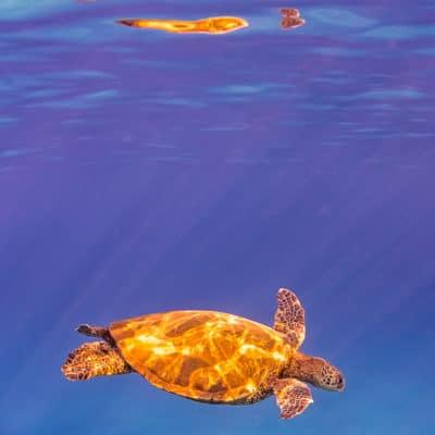 Turtle Reflections - Hawaii Ocean Photography