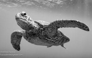 Turtle - Hawaii Ocean Photography