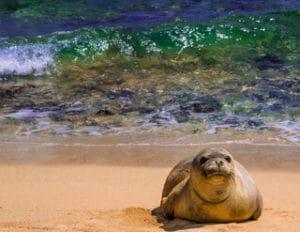 monk seal photography on hawaii beach