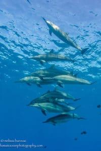 Kona Dolphins - Hawaii Ocean Photography