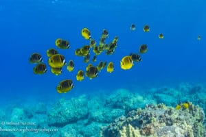 Raccoon Butterfly Fish - Hawaii Ocean Photography