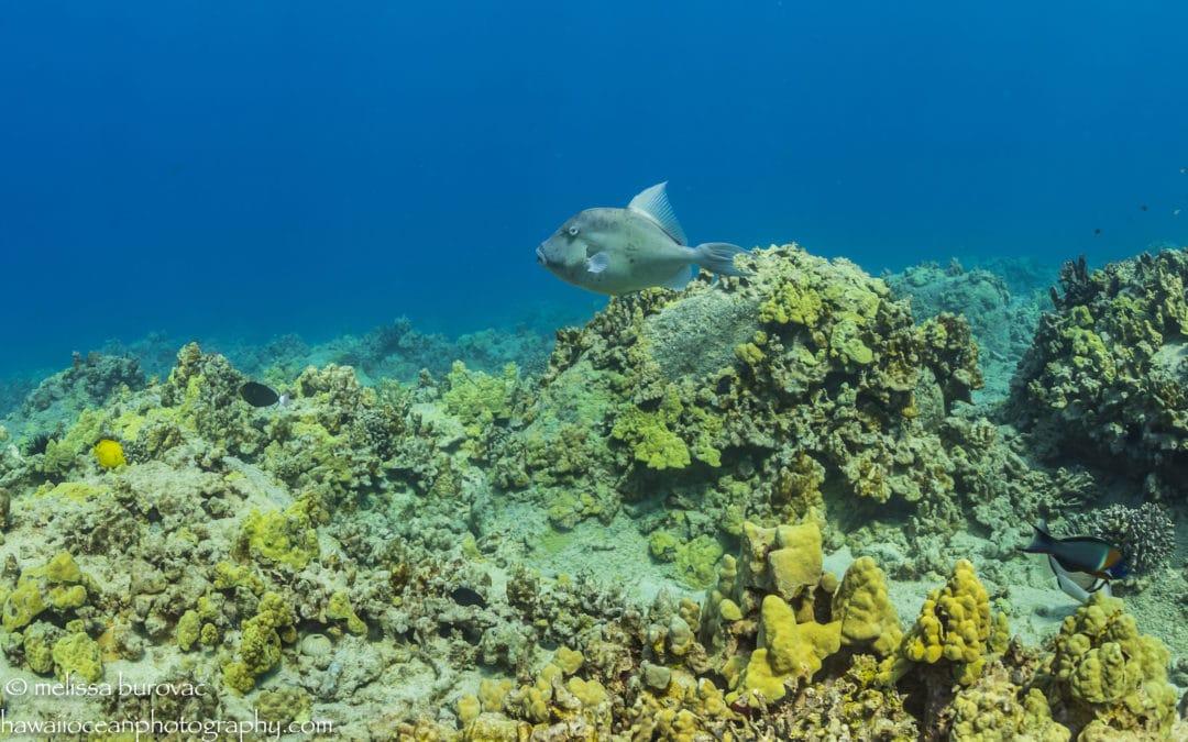 Fish Aumakua, Fish Guides, and Fish Butts