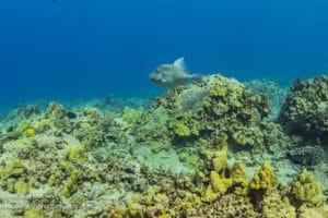 Triggerfish - Hawaii Ocean Photography