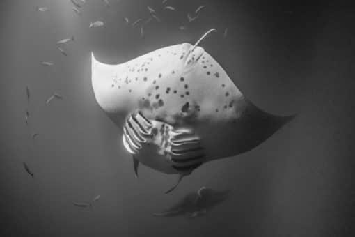 Manta Ray - Hawaii Ocean Photography