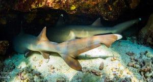 White Tip Reef Sharks - Hawaii Ocean Photography