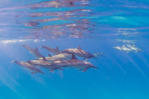Dolphins in the Sun - Hawaii Ocean Photography