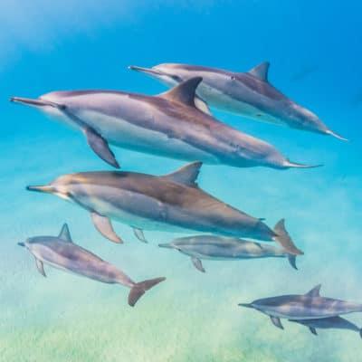 Ohana Dolphins- Hawaii Ocean Photography