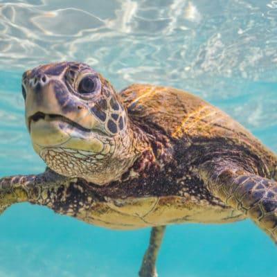 Baby Turtle - Hawaii Ocean Photography