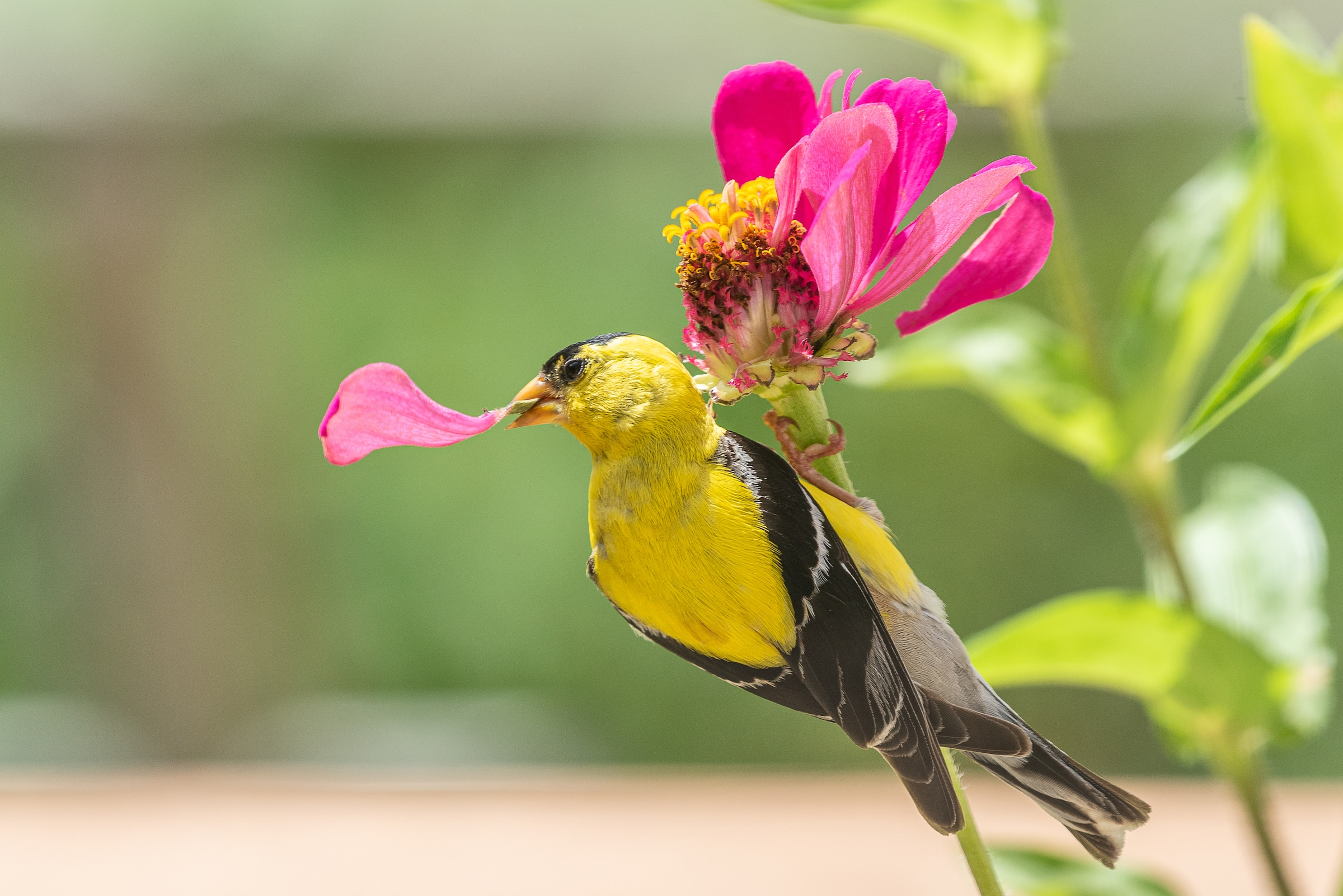 Goldfinch with Pink Zinnia