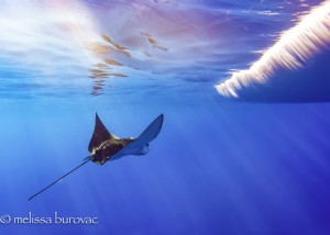 Eagle Ray in the Surf
