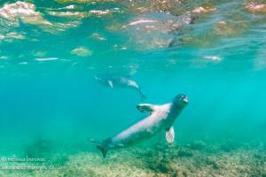 Monk Seals Underwater 2
