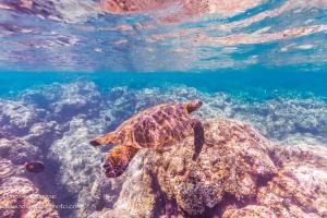 Sea TurtleHawaii Ocean Photography