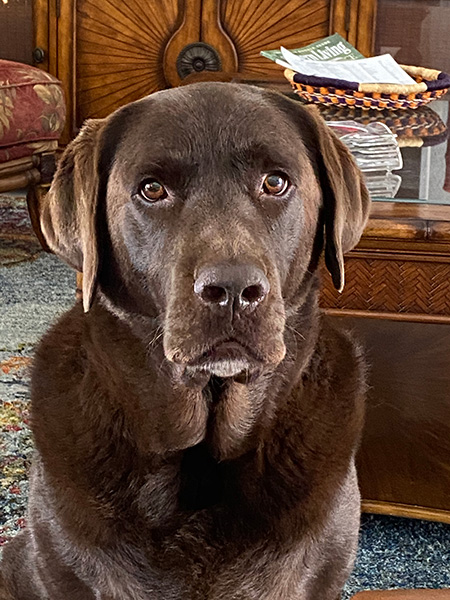 Moby 'Dick' our chocolate lab