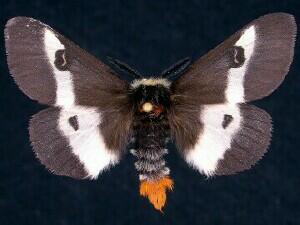Image Source: http://mothphotographersgroup.msstate.edu/species.php?hodges=7854