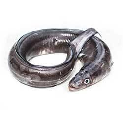 American Sea Eel