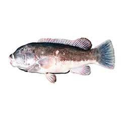 Blackfish (Tautog)
