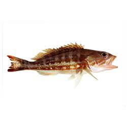 Cabrilla Sea Bass