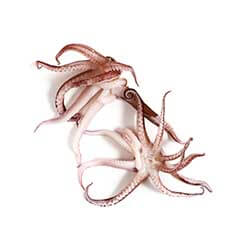 Mediterranean Baby Octopus
