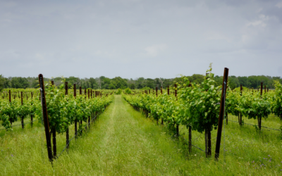 TEXAS FINE WINE PREDICTS 2015 HARVEST TO DELIVER ONE OF THE  MOST BALANCED CROPS IN MANY YEARS