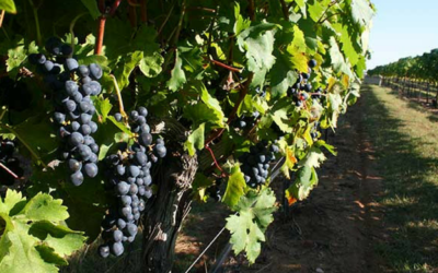 TEXAS FINE WINE PREDICTS 2016 HARVEST TO YIELD HIGH QUALITY FRUIT, WITH RECORD CROP FOR SOME VARIETIES