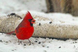 winter birds winter birding in Ontario bird identification ontario list of winter birds ontario birds