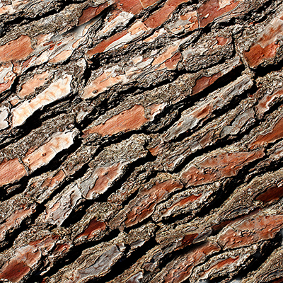 Close up of the bark of a conifer