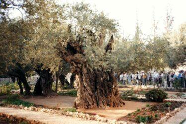 Olive Tree in the Garden of Gethsemane