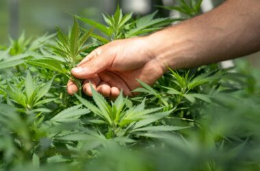 7 Essential Tips for Taking Care of a Cannabis Farm