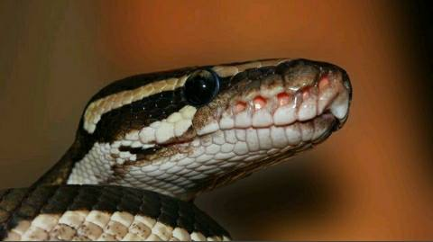 Deadly outbreak of snakebite increased - due to the death of two women in Bhojpur