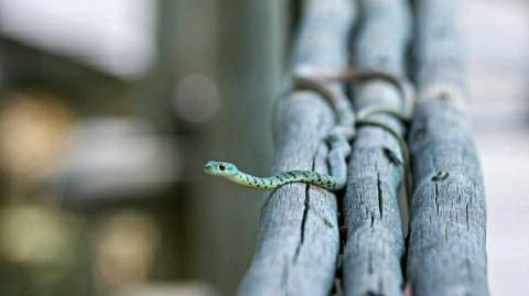 Piro Bazar snake.jpg