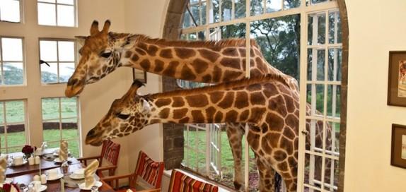 GiraffeManor2