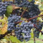 Understanding the Crus of Beaujolais