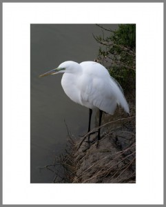 Portrait-of-a-Great-Egret