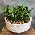 mini jade plant