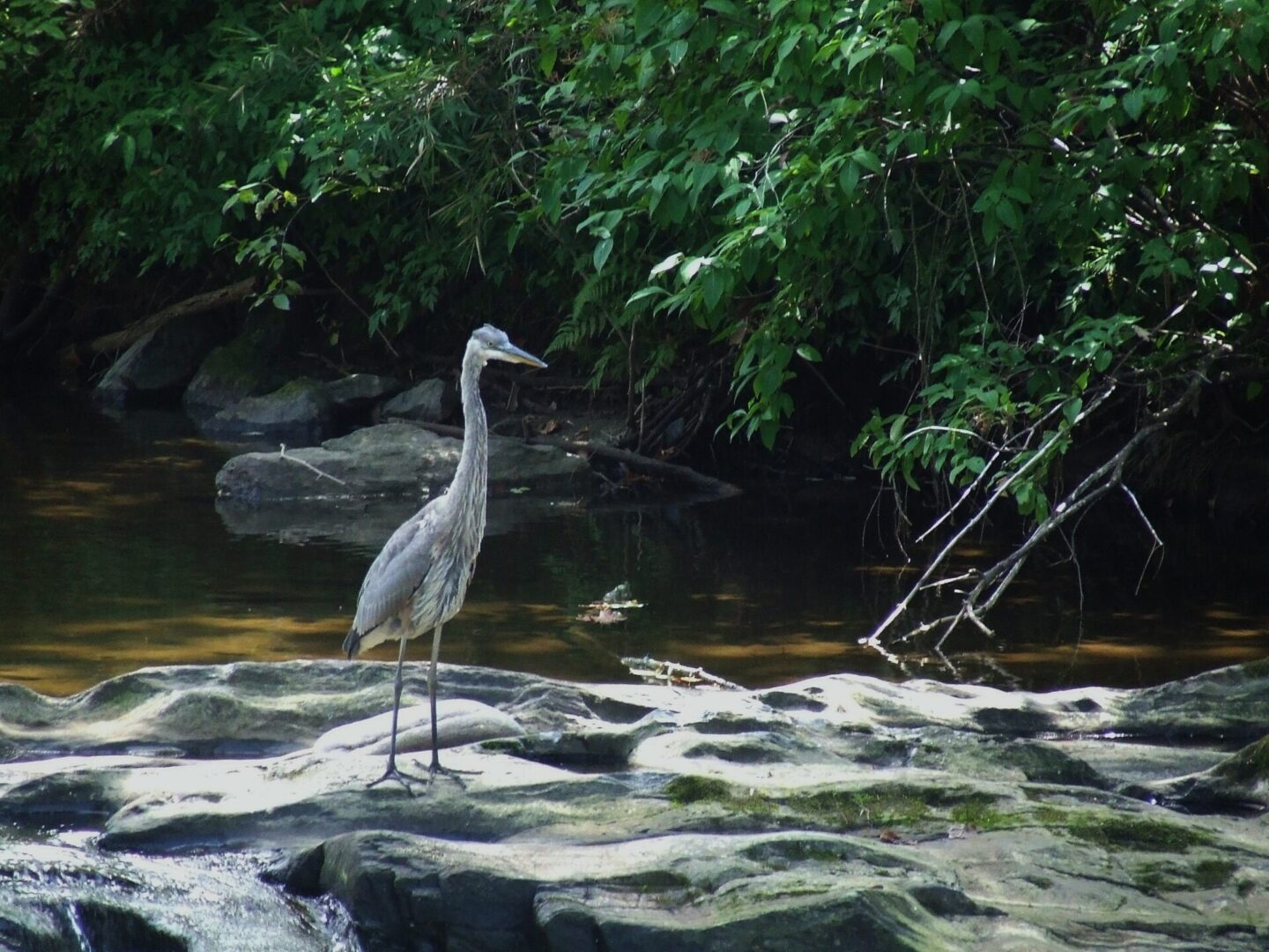 A Great Blue Heron standing on a rock