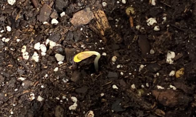 Growing Hemp Part 2: Germination Successful! And A Rapidly Growing Hemp Seedling