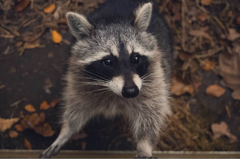 pee on your compost to deter raccoons