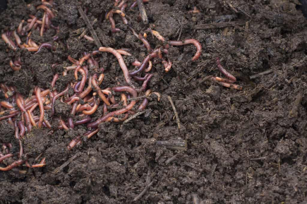 how fast do red wigglers reproduce in compost