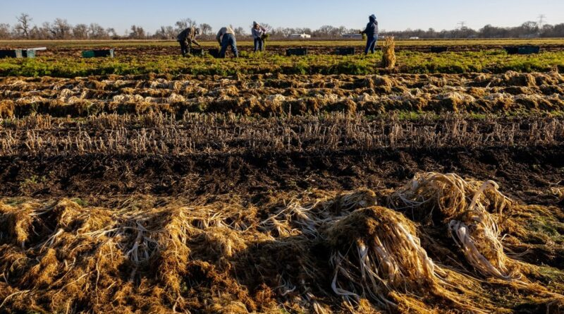 Texas winter storm devastated farms, crops
