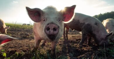 Surgeons have successfully tested a pig's kidney in a human patient