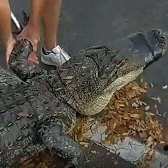 10-Foot Alligator Captured From Underneath Car In Tampa As Mating Season Gets Underway