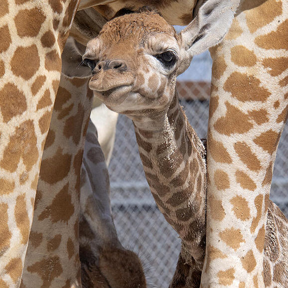 Zoo Miami has announced the addition of two new baby giraffes to their family.