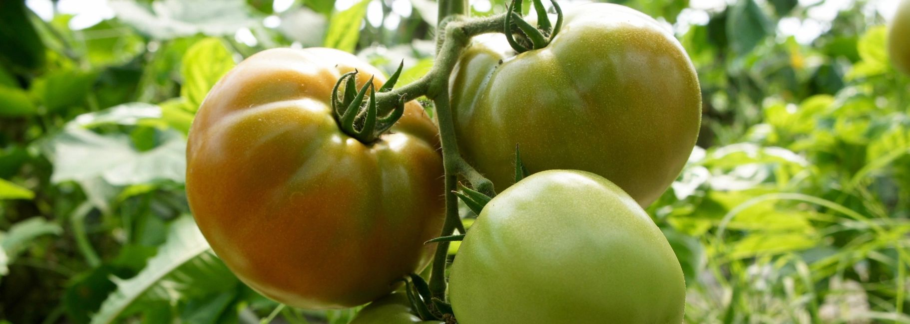 Green Tomato Pie Turnovers