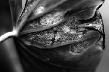 Close-up of Kalo plant, also known as Taro. The process of propagating kalo resembles the process of healing from generational trauma. Source: Lexi Figueroa